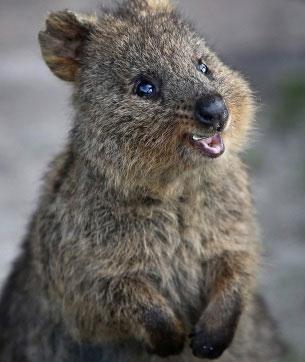 Quokka Happiest Animal